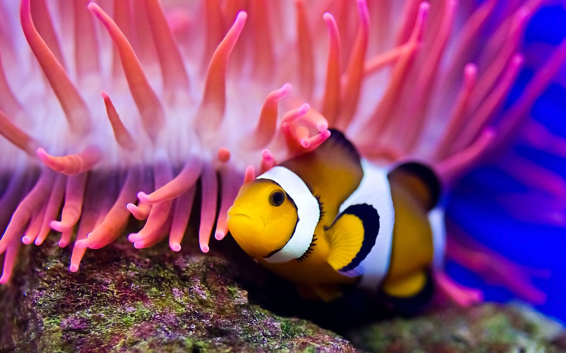Water Clown Fish Sea Anemone Android Wallpapers