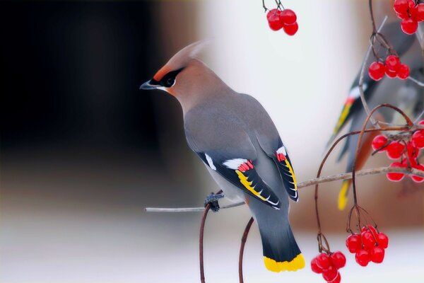 Waxwing Birds viburnum branches beautiful