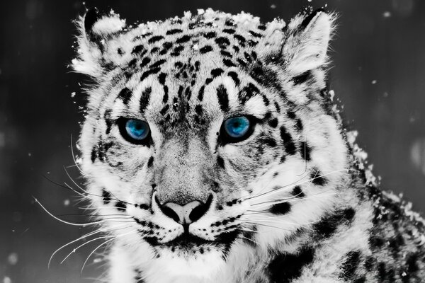 Snow Leopard - Black And White Portrait