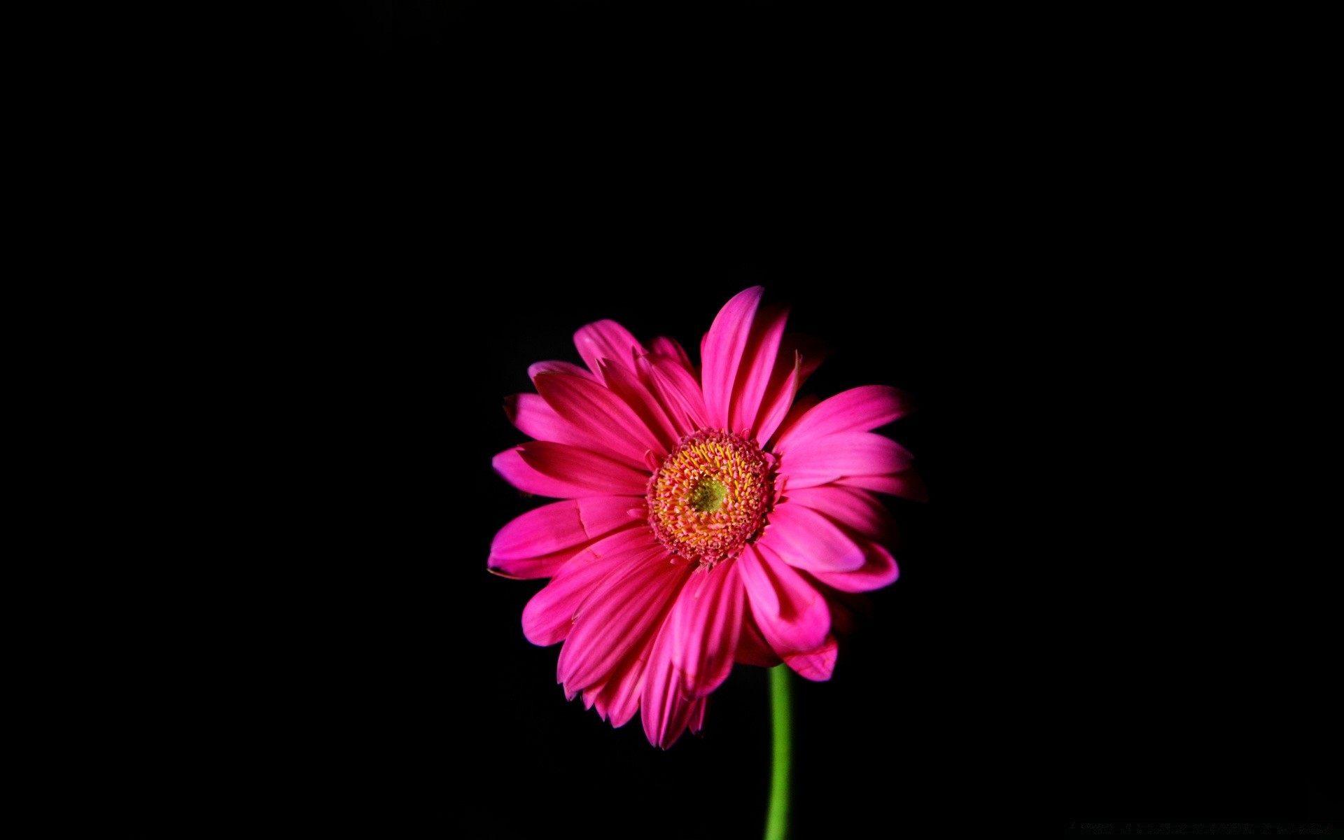 Hot Pink Gerber Daisy Phone Wallpapers