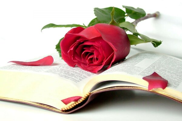The Bible rose book of beauty of wisdom open book levr