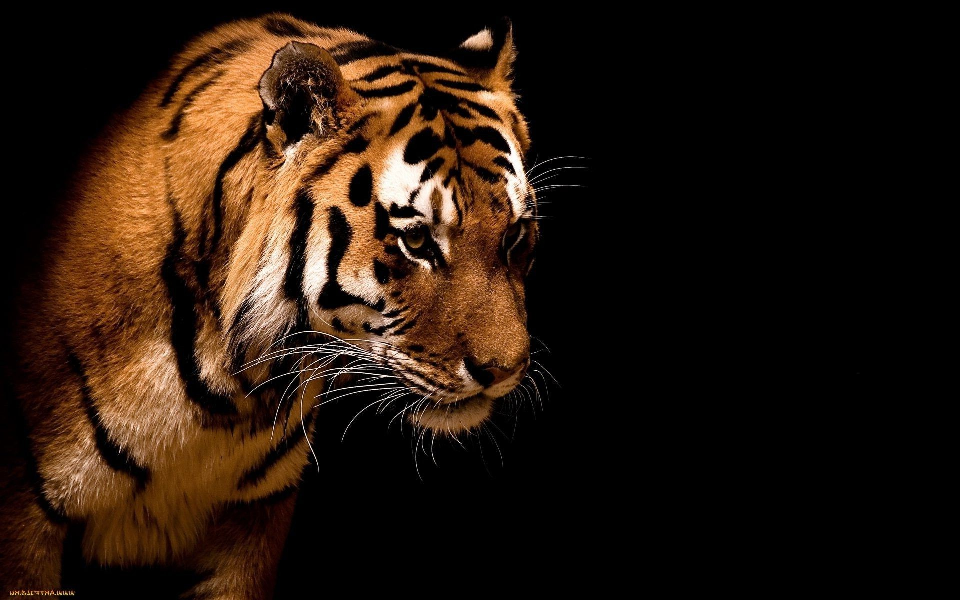 Tiger Wallpaper Iphone Wallpapers For Free