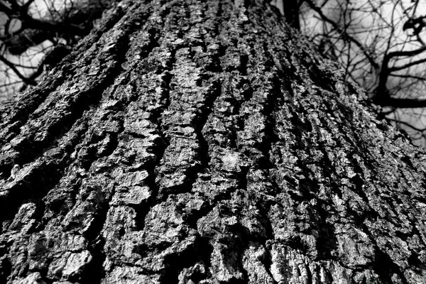 Black And White Tree Trunk