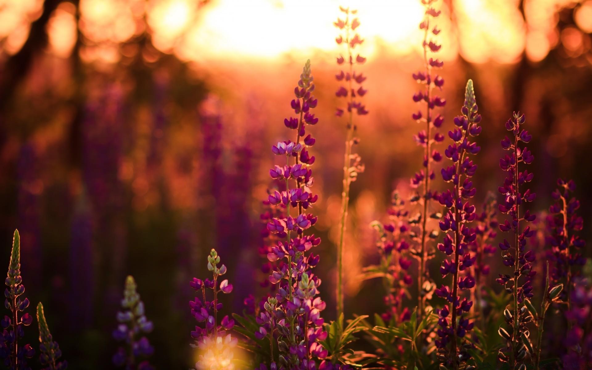 Цветы природа лаванда  № 1352147  скачать