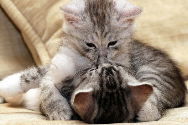Little grey kittens kissing