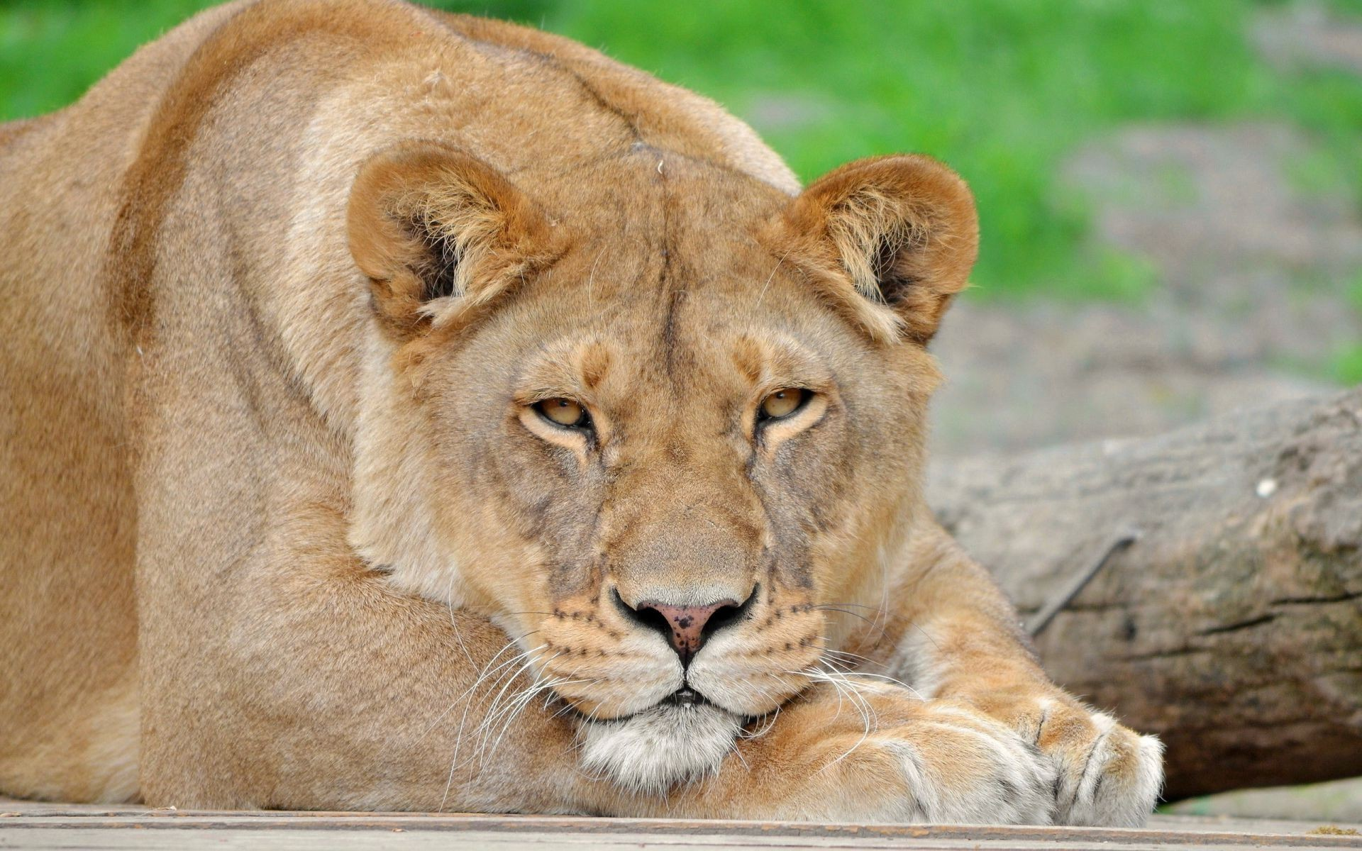 Lion Panthera Leo A Lioness Whiskers Glance Snout Android