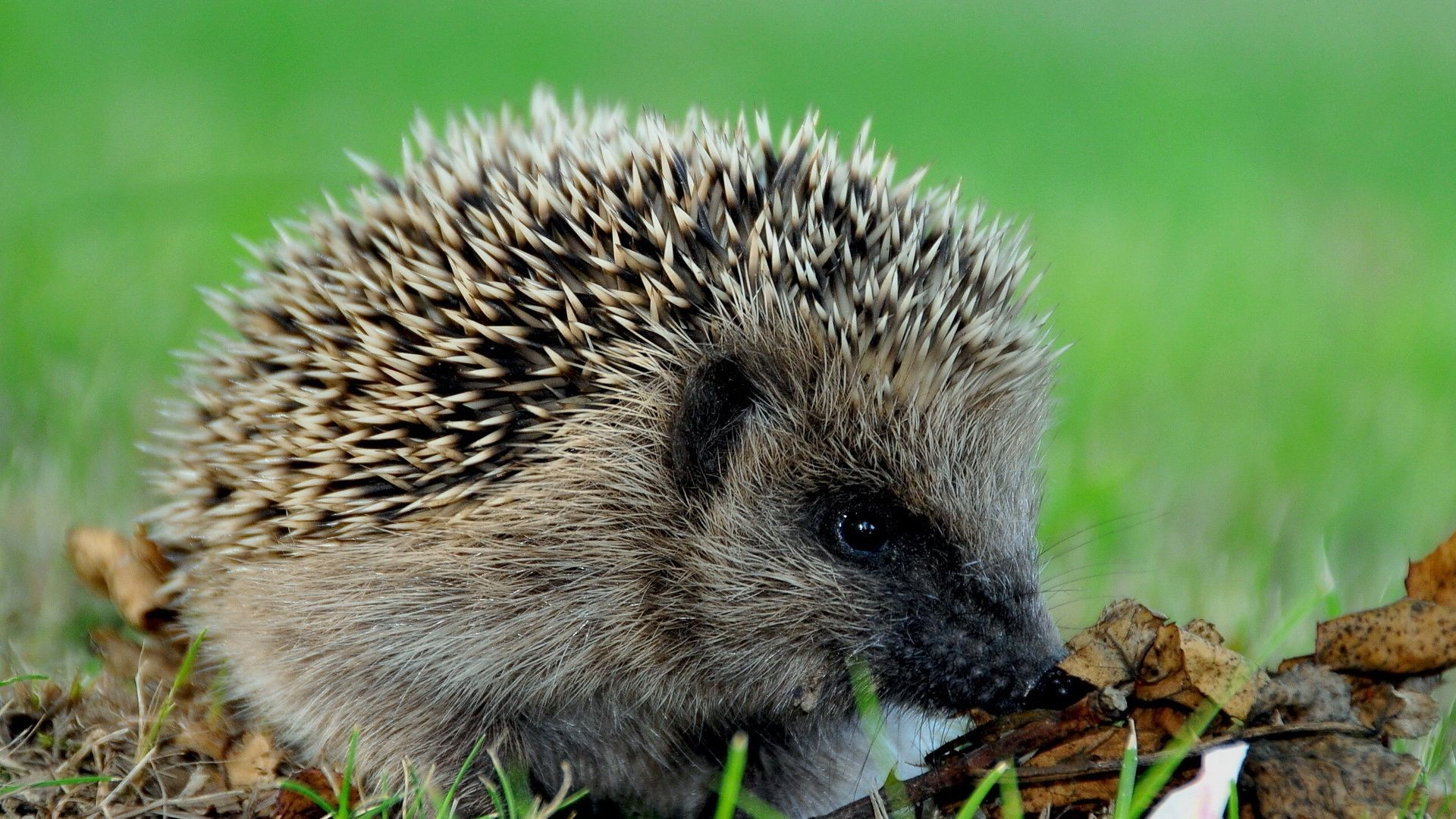 hedgehog hedgehog autumn nature