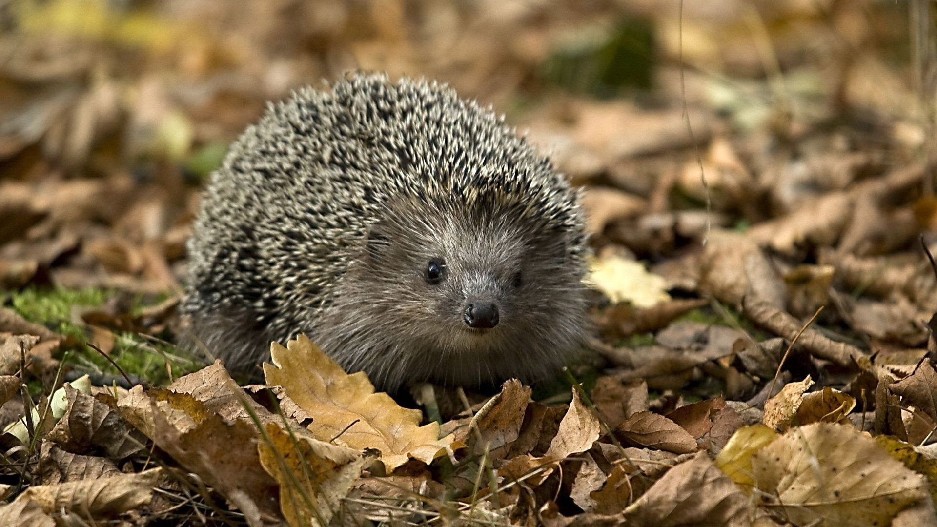 hedgehog hedgehog nature autumn leaves