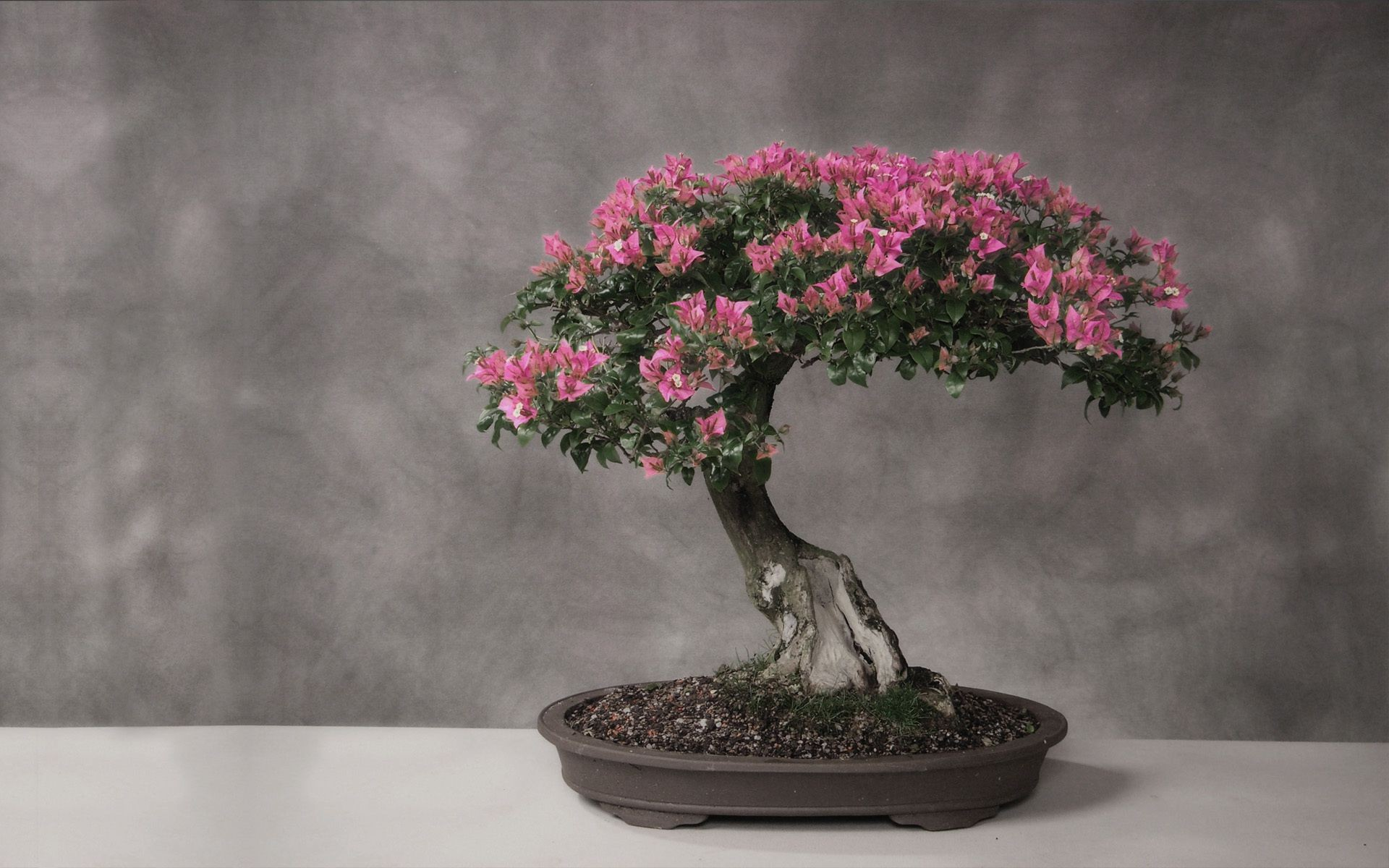 the leaves stand light table Bonsai tree Japan