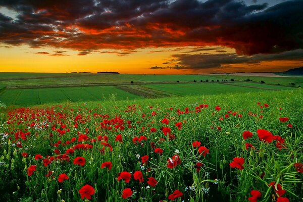 Field flowers poppies daisies sunset clouds