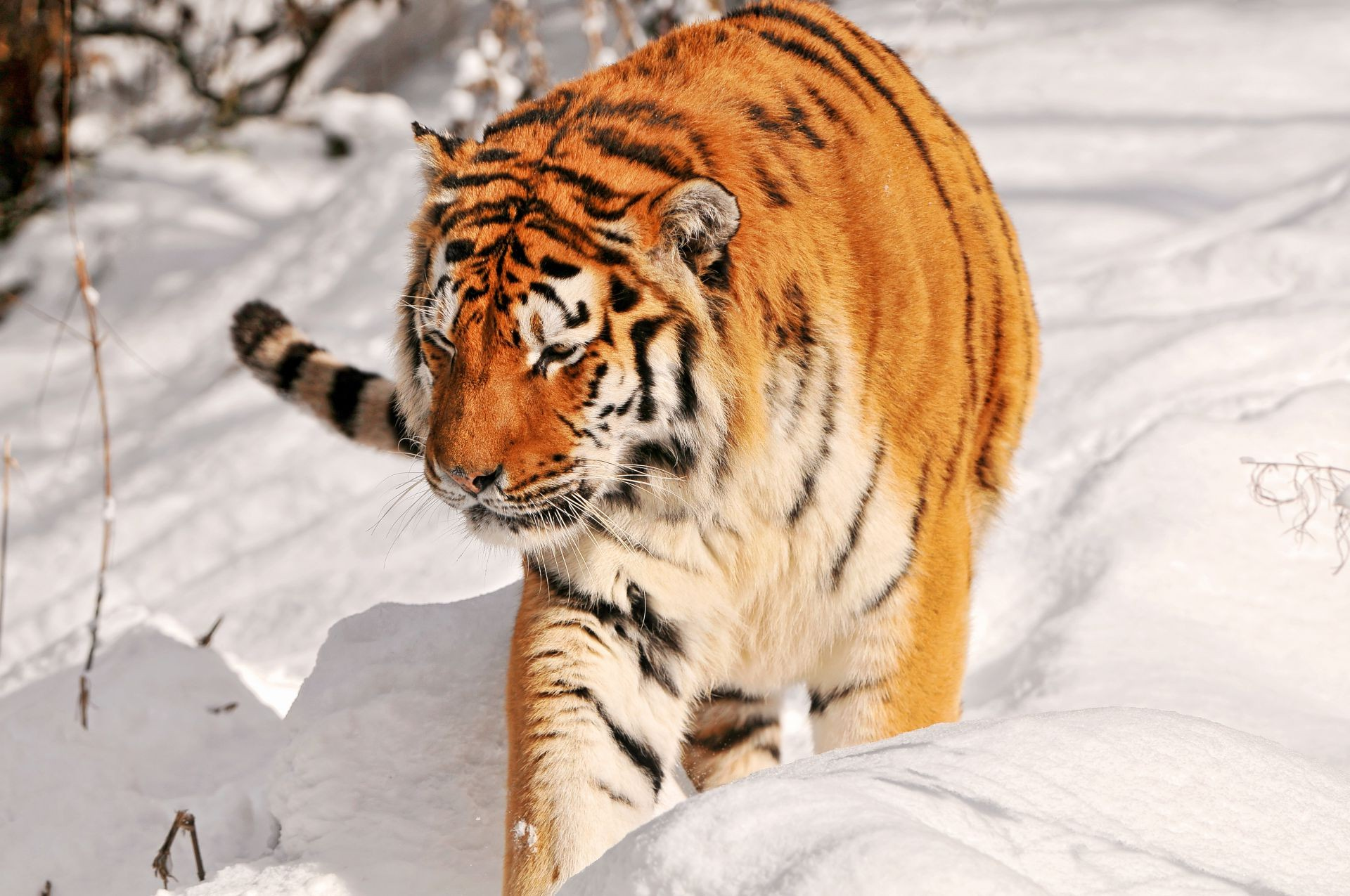 hunting the Amur tiger snow predator