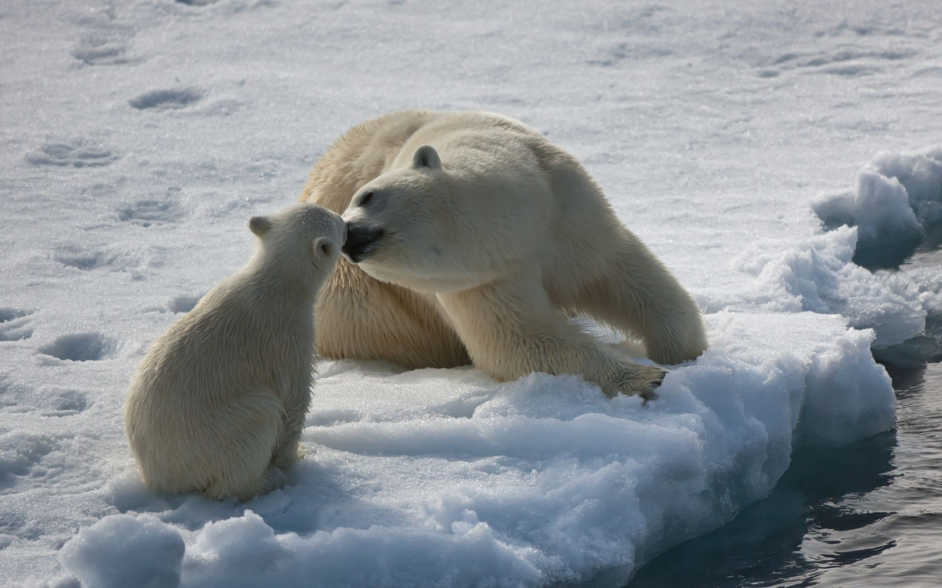 bears snow frosty winter ice cold polar mammal outdoors wildlife frozen nature water frost daylight