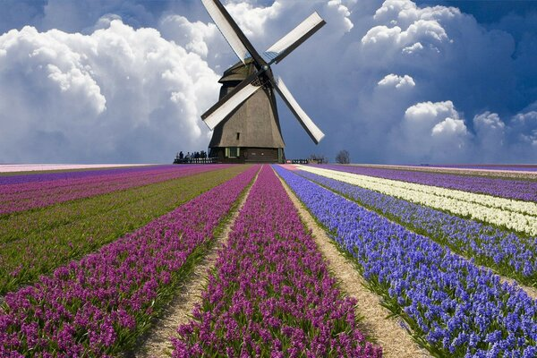 tulips clouds Netherlands Windmill field