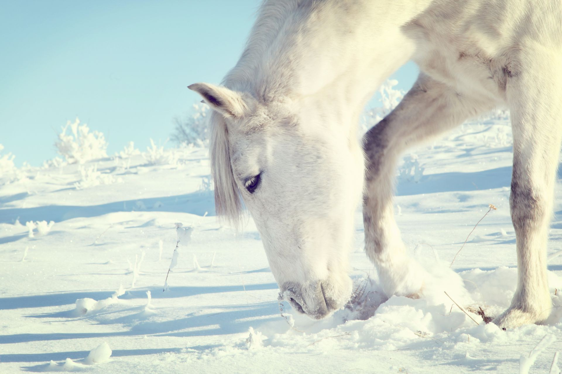 White Horse Winter Snow Free Wallpapers