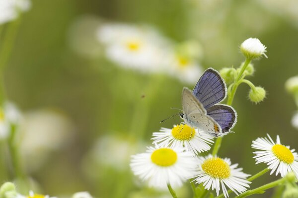 herbs chamomile flowers white butterfly