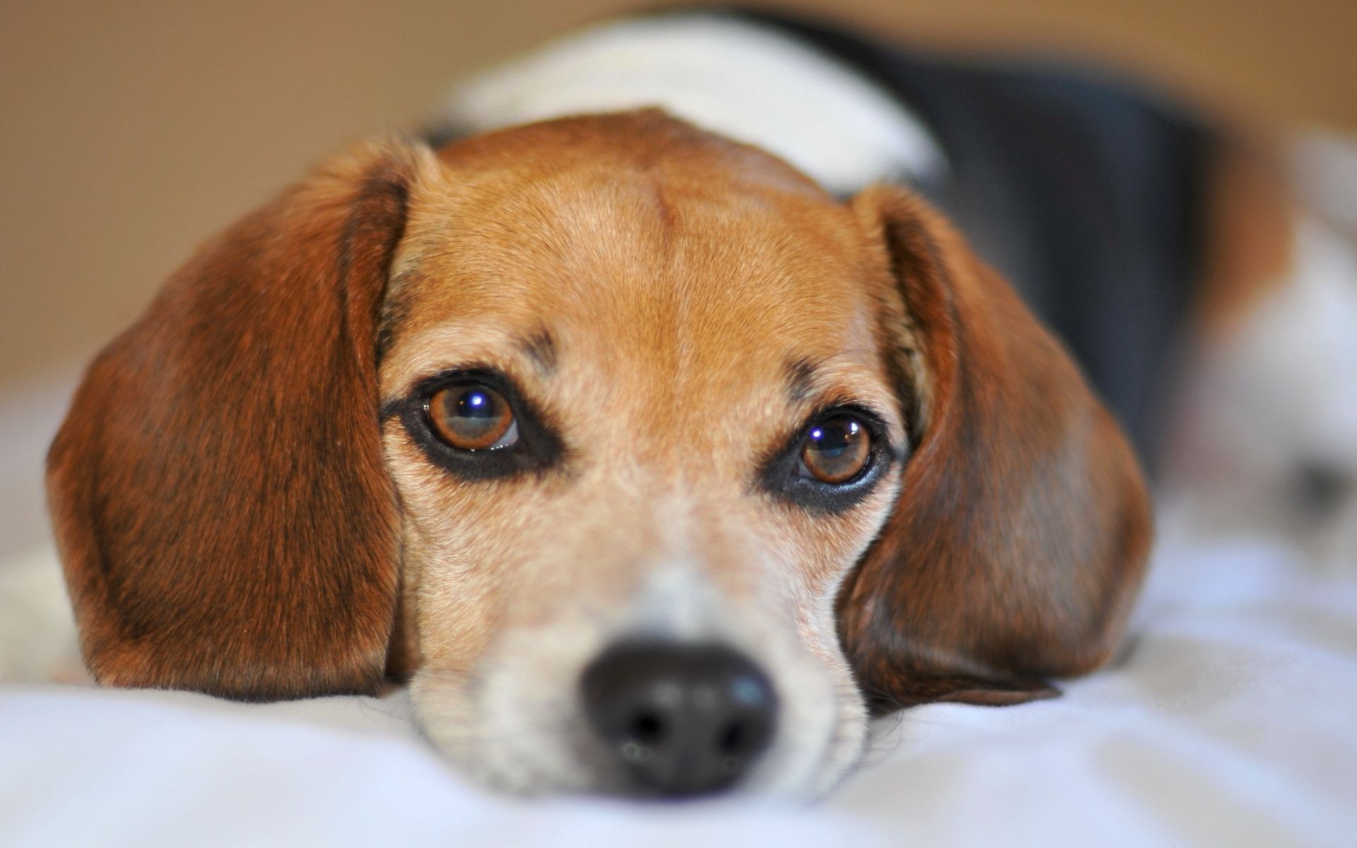 Beagle sad Dog