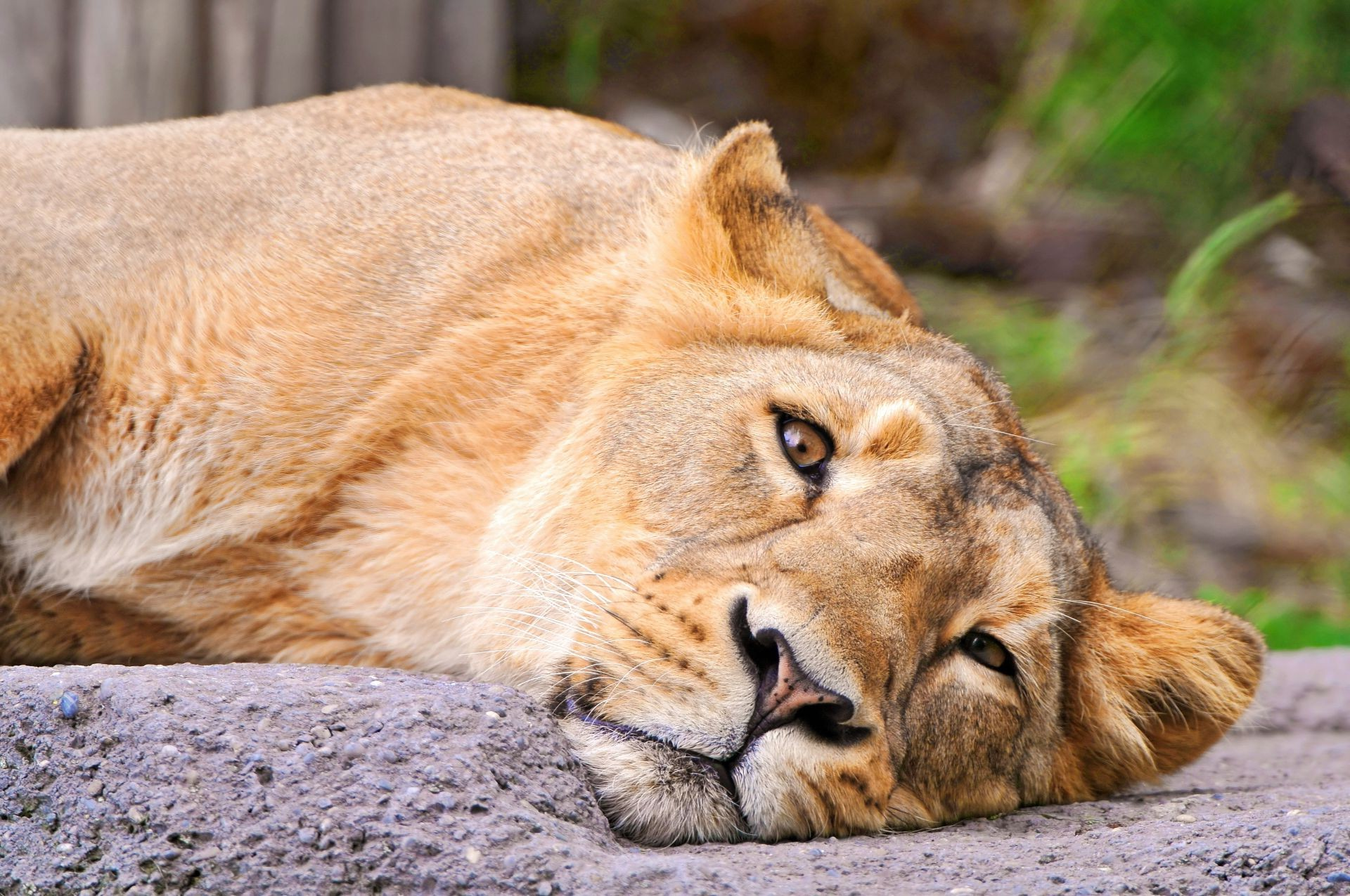 Lioness Looking Lion Face Lies Android Wallpapers For Free