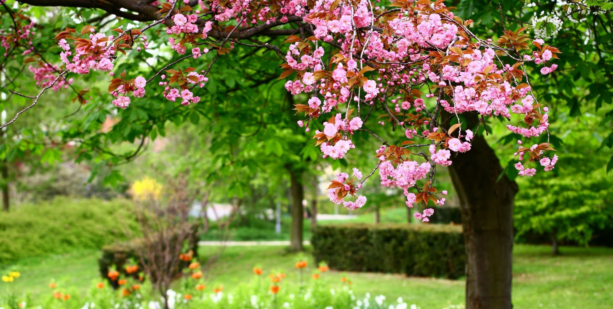 spring flower garden tree nature flora blooming leaf growth summer branch cherry season petal park floral botanical shrub outdoors springtime