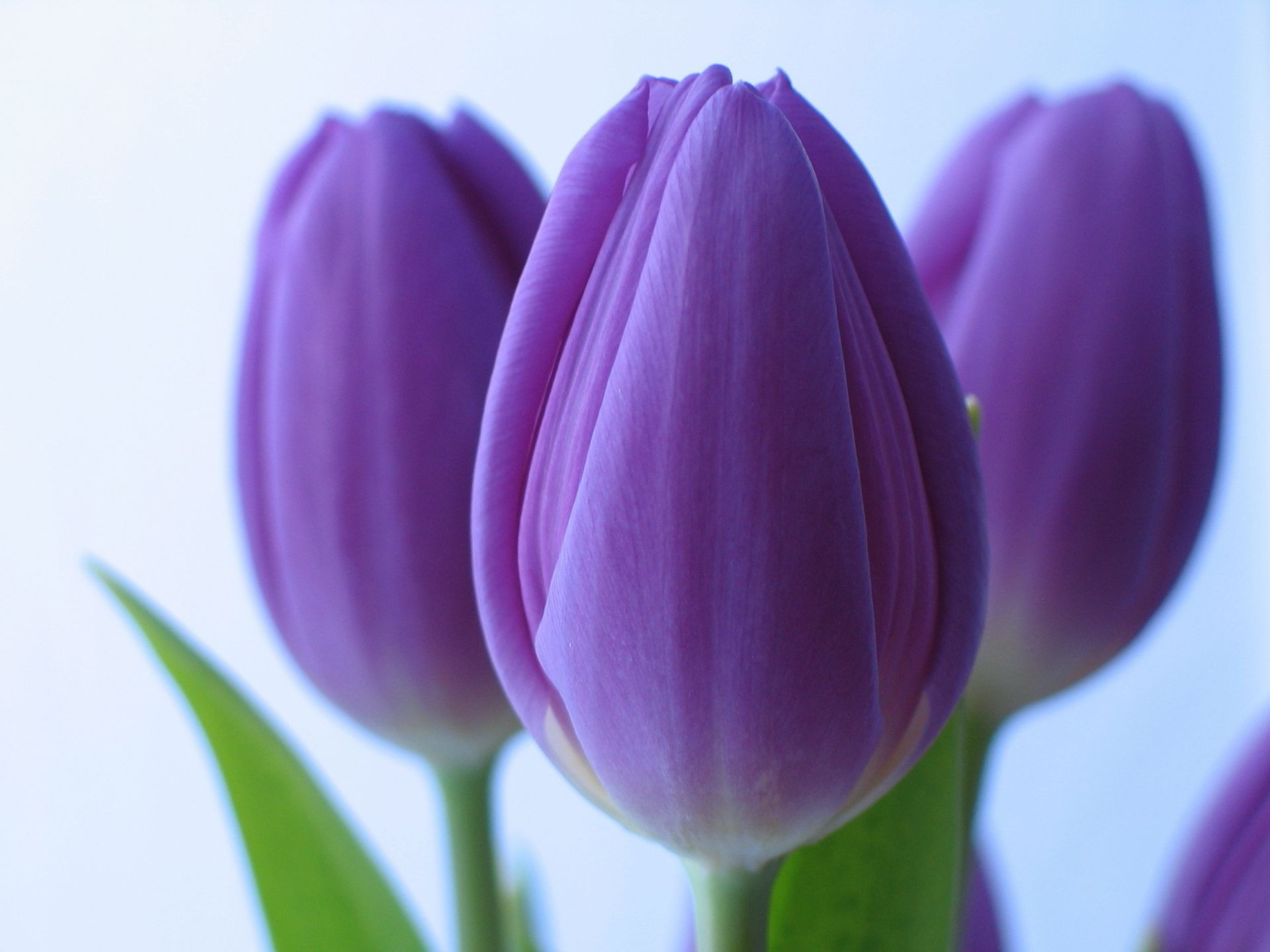 purple Flowers tulips