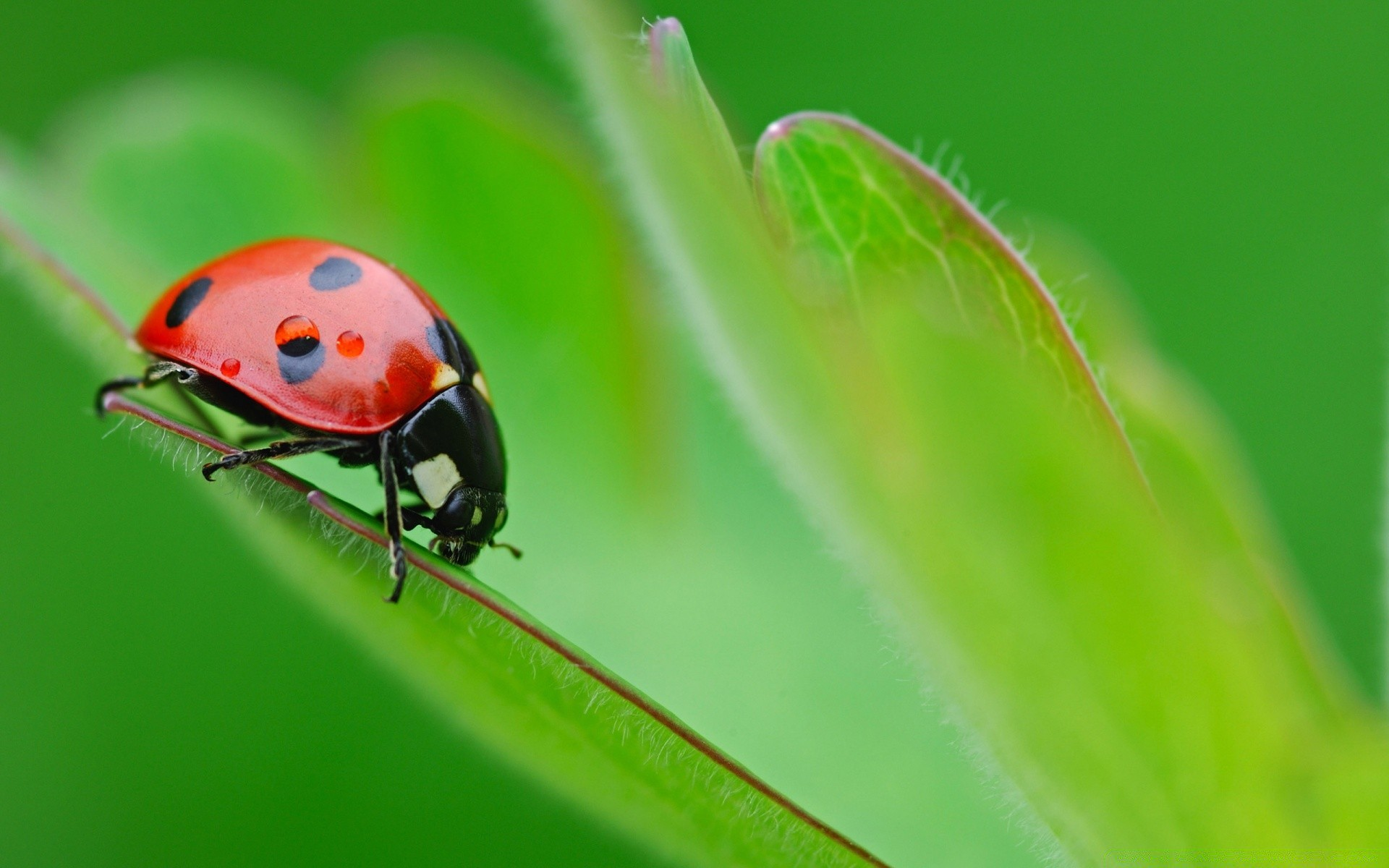 ladybug on leaf. android wallpapers for free.