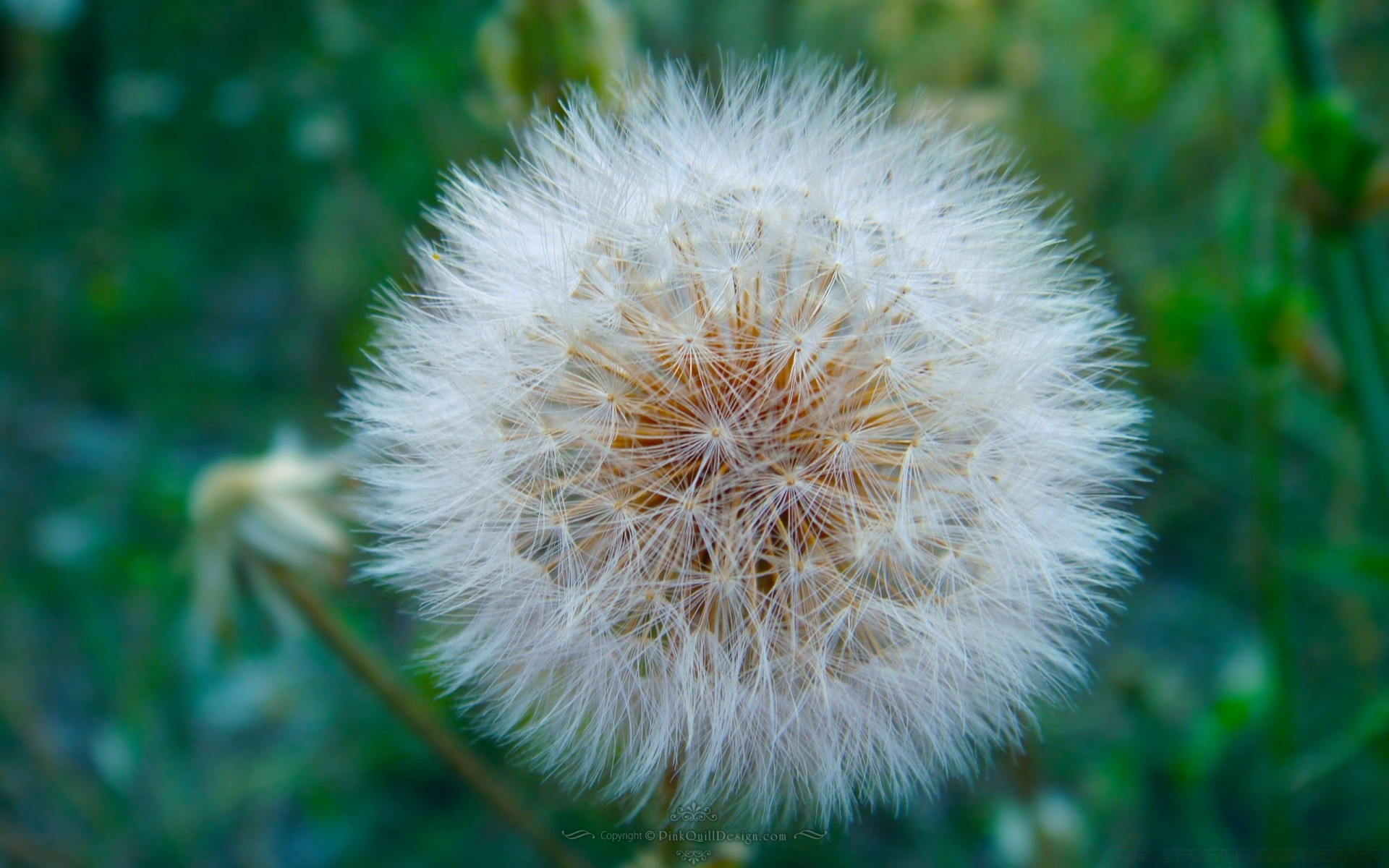 Dandelion Blowball Android Wallpapers For Free