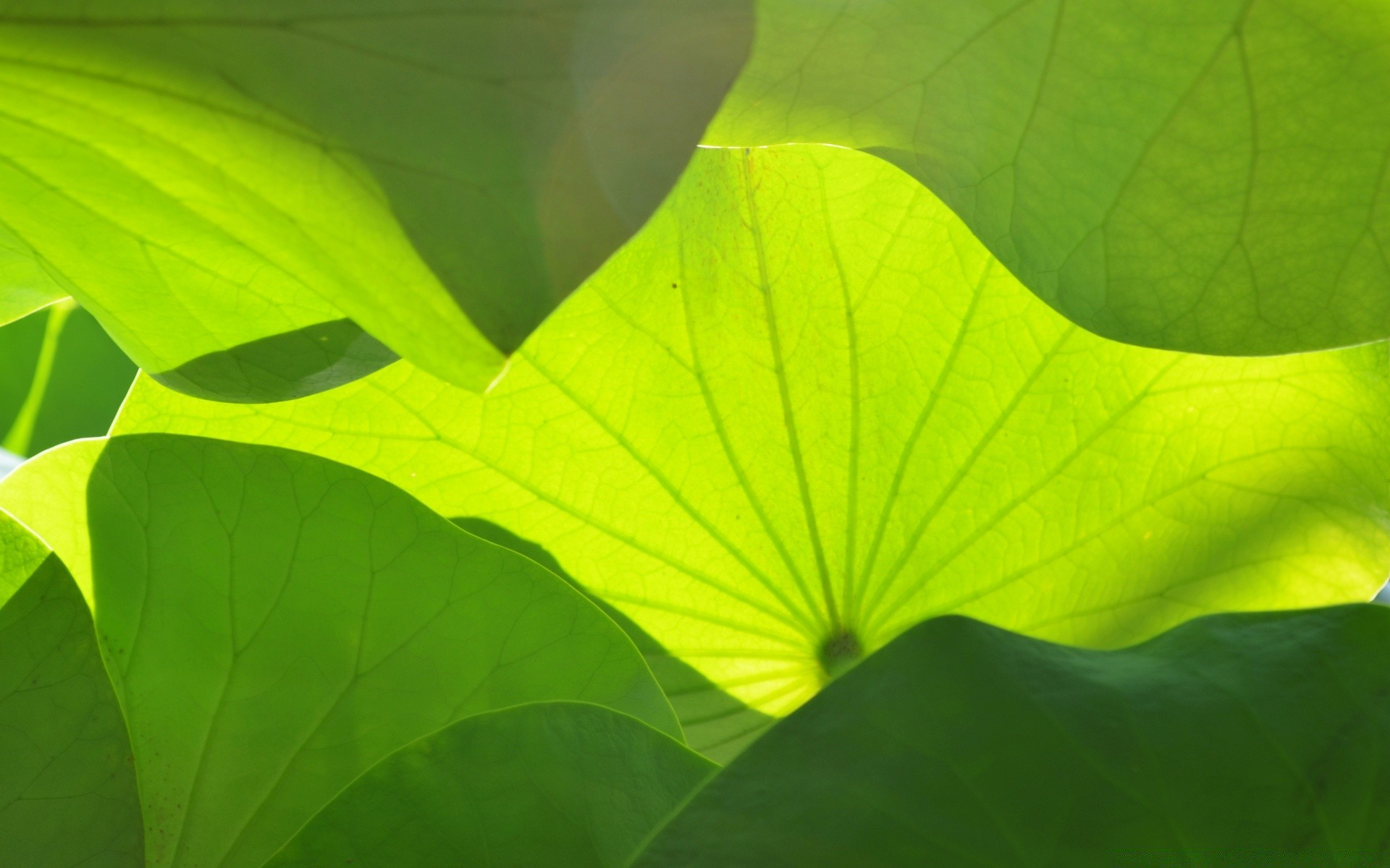 Big Green Leaves. Android Wallpapers For Free