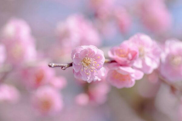 the sky the sprig of bloom flower flowers pink Sakura