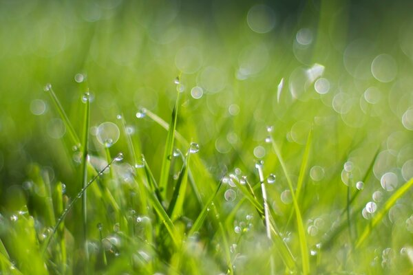 Fresh Dew Drops On Grass
