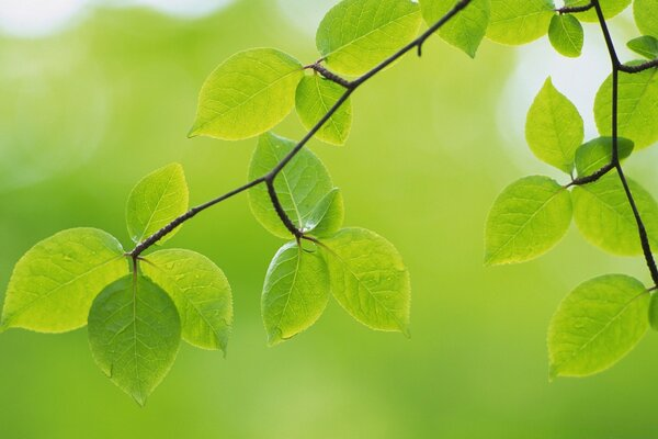 Branch With Green Leaves 26