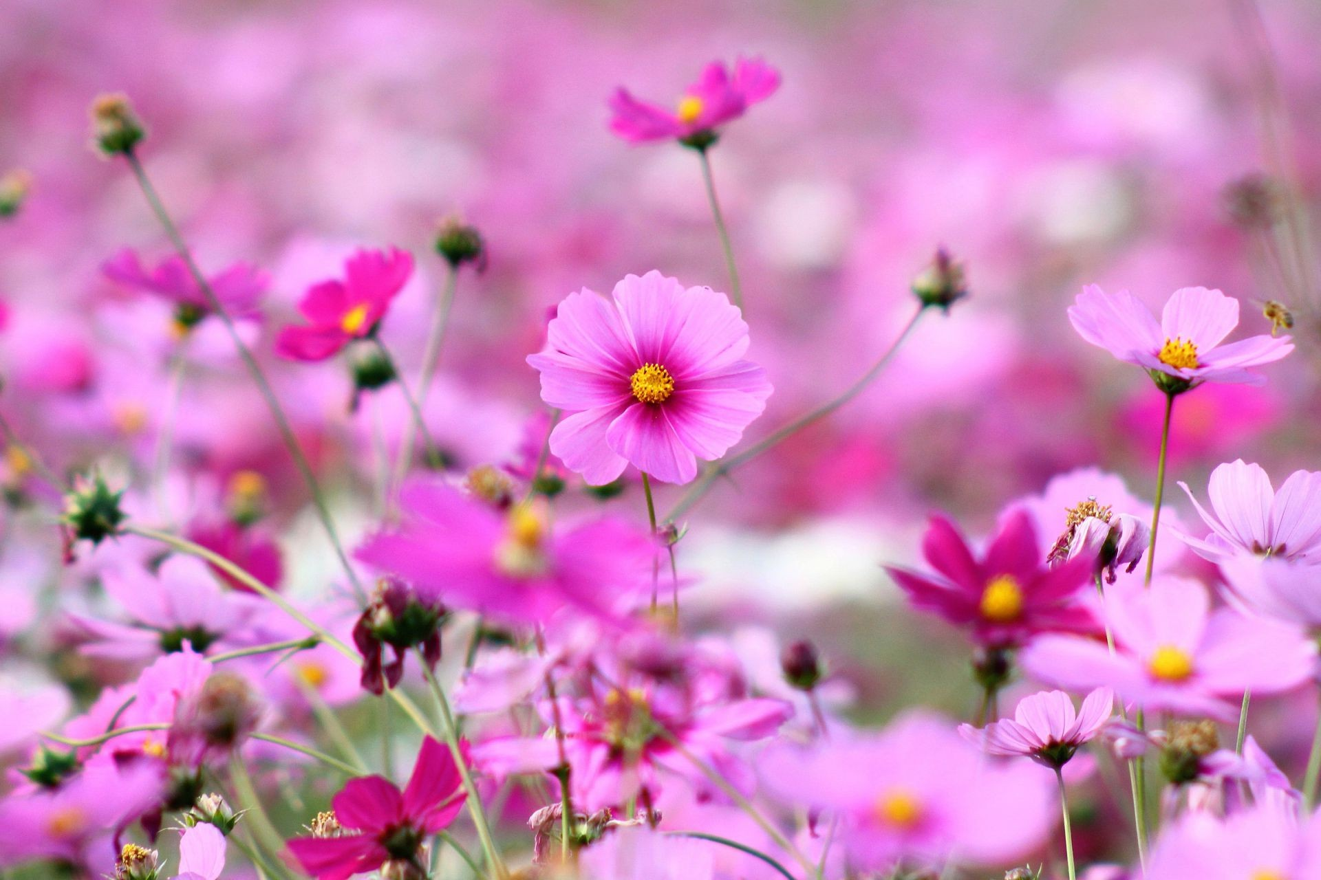 flowers pink Kosmeya petals bright grass