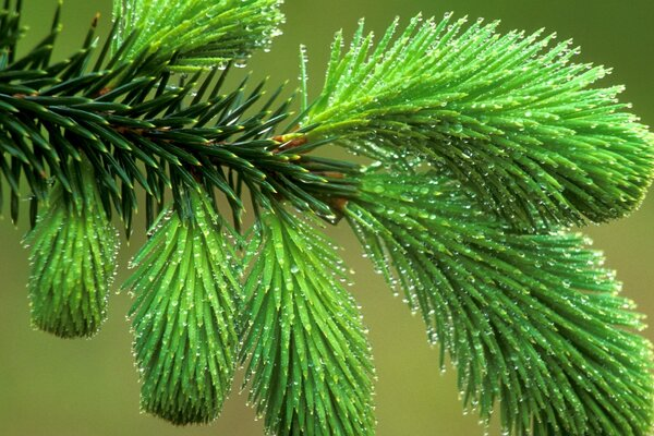 Dew Covered Spruce Bough