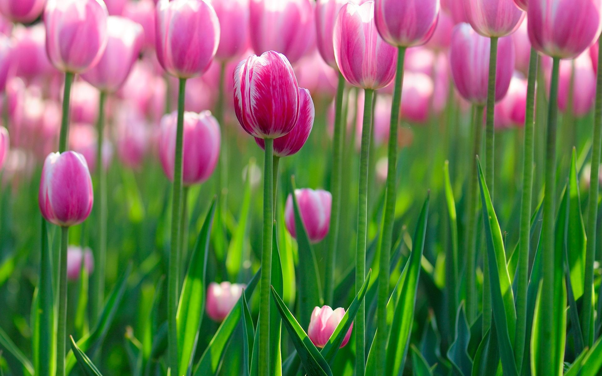 flowers Tulips bokeh flowers wallpapers flower flo