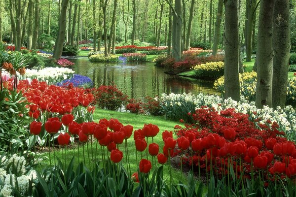 The tulips in the Keukenhof garden in the Netherlands