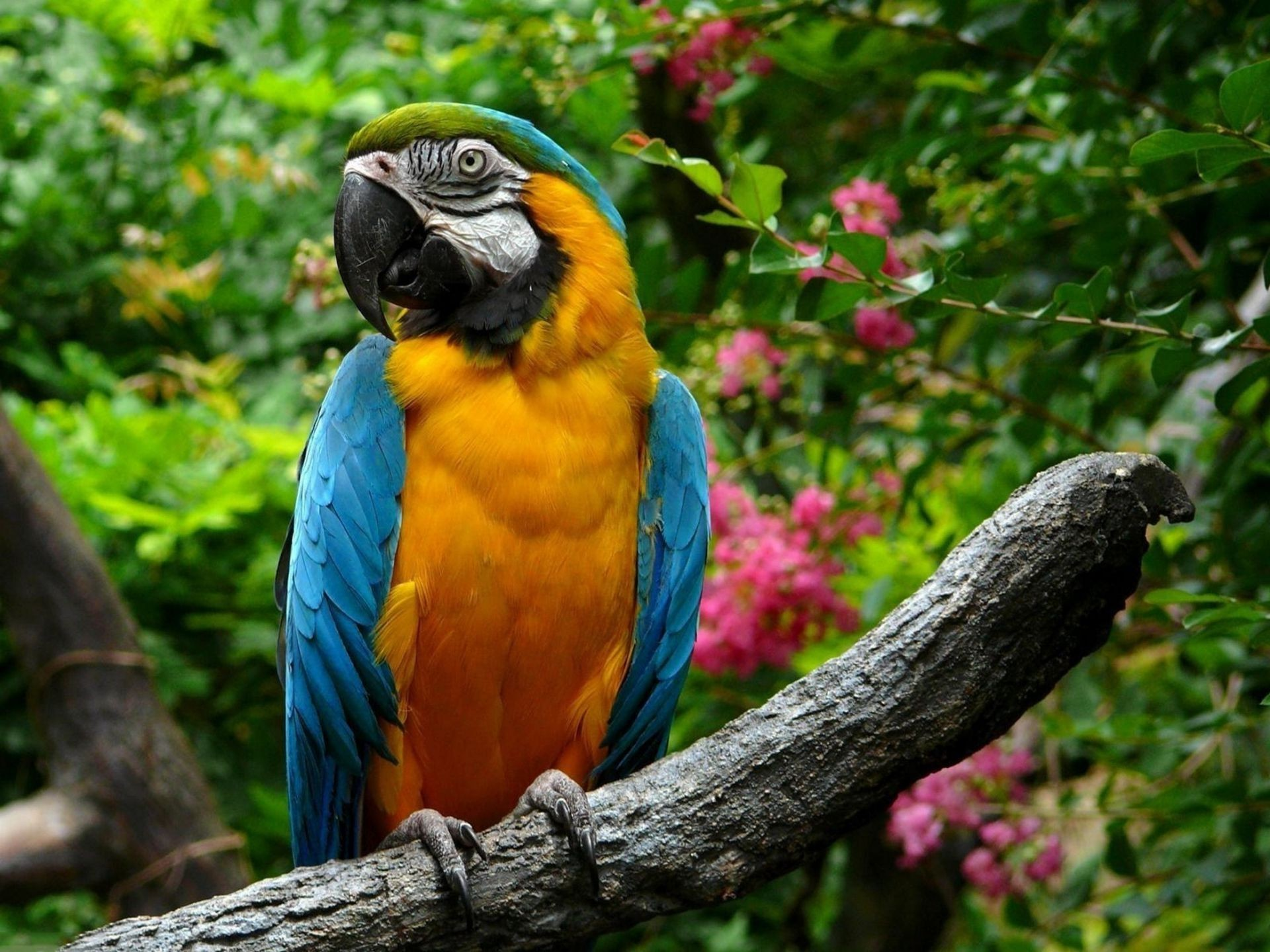 macaw parrot Wallpaper Animals bird