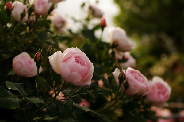 petals buds leaves flowers shrub Roses pink