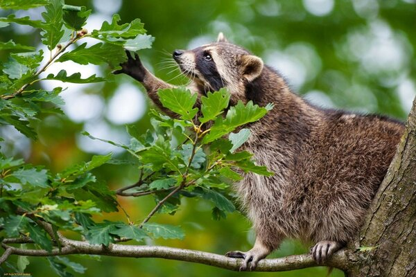 animals raccoon