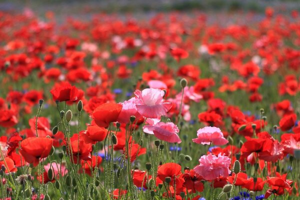 bright pink field Poppies red flowers red