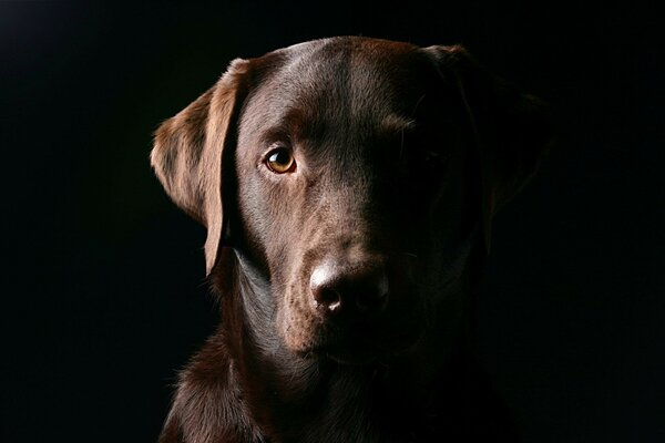 black background Labrador Dog muzzle dog eyes