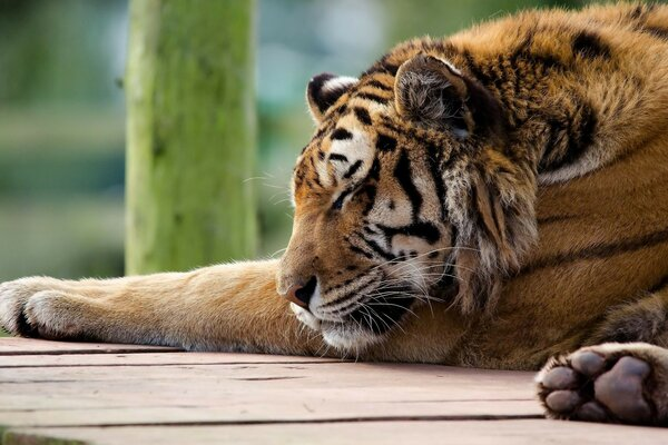 panthera tigris paws muzzle tiger tiger is sleeping
