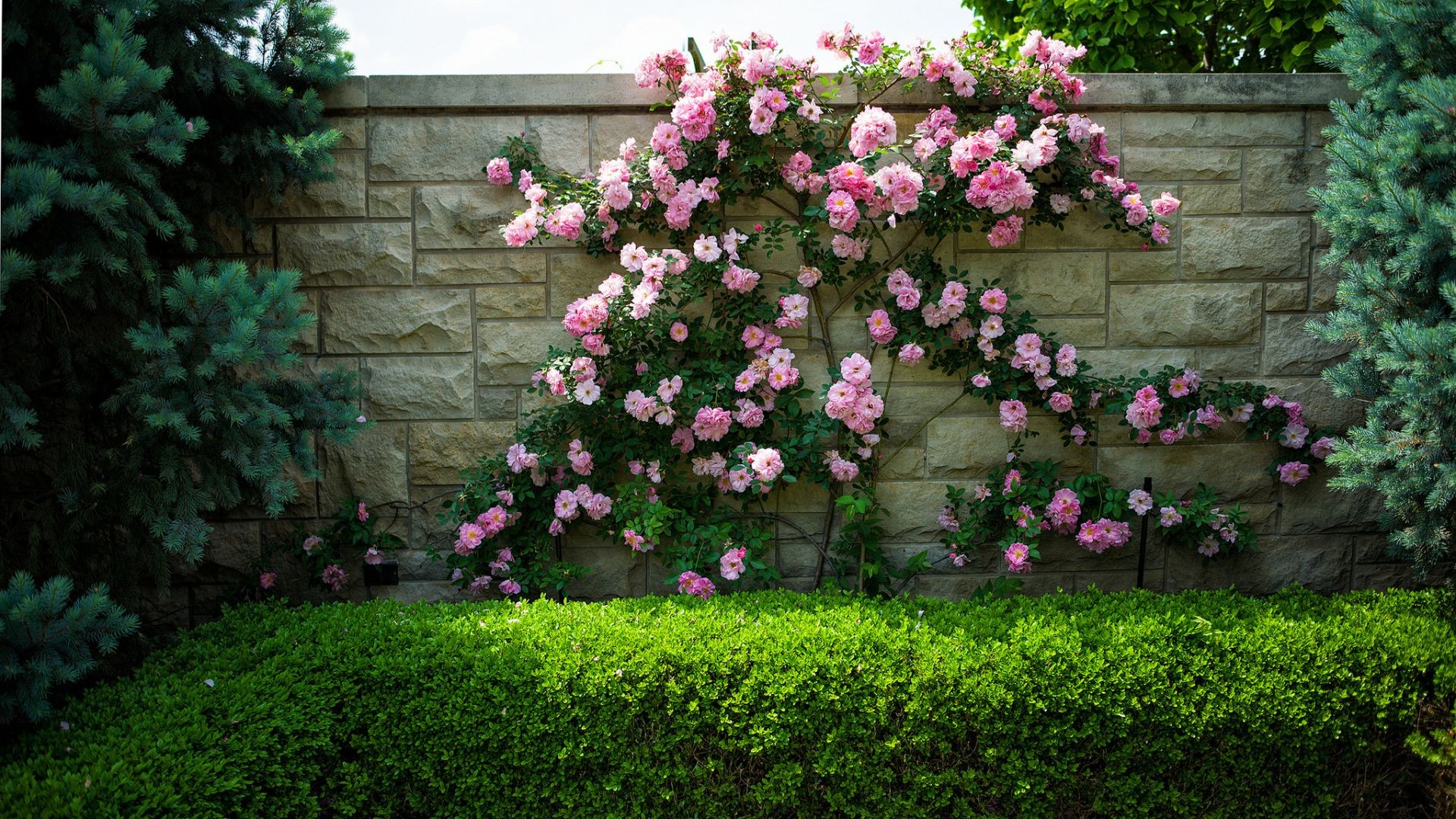 roses flowers bushes wall