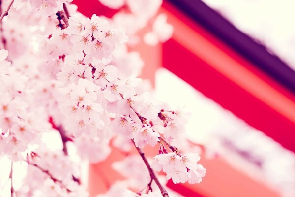 twigs flower Wallpaper Sakura japan, Japan flowers sakura