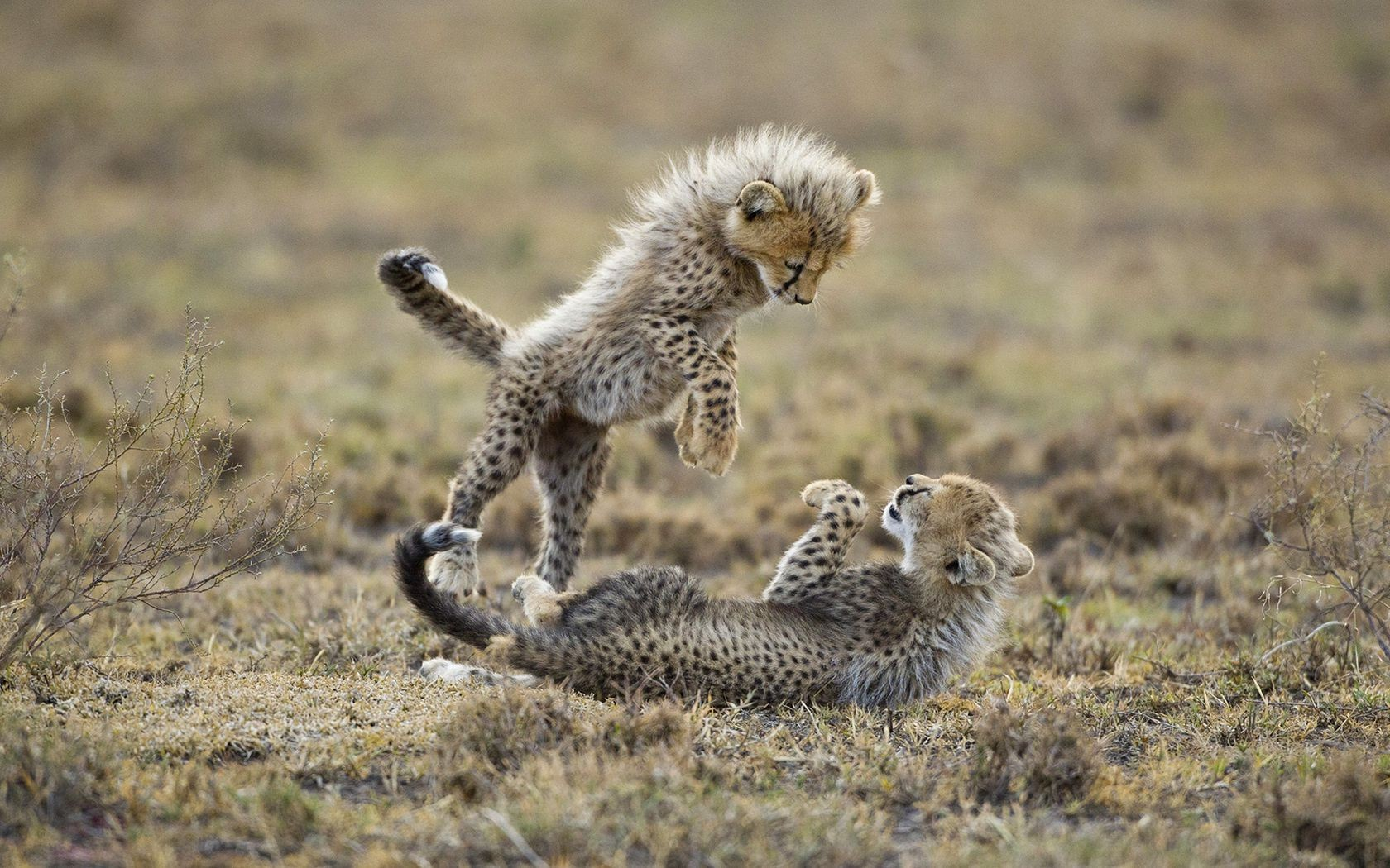 kittens are carnivores cheetahs cubs