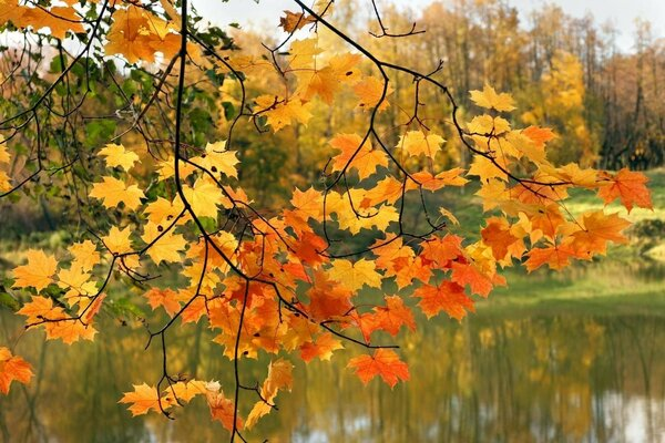 maple leaves autumn river