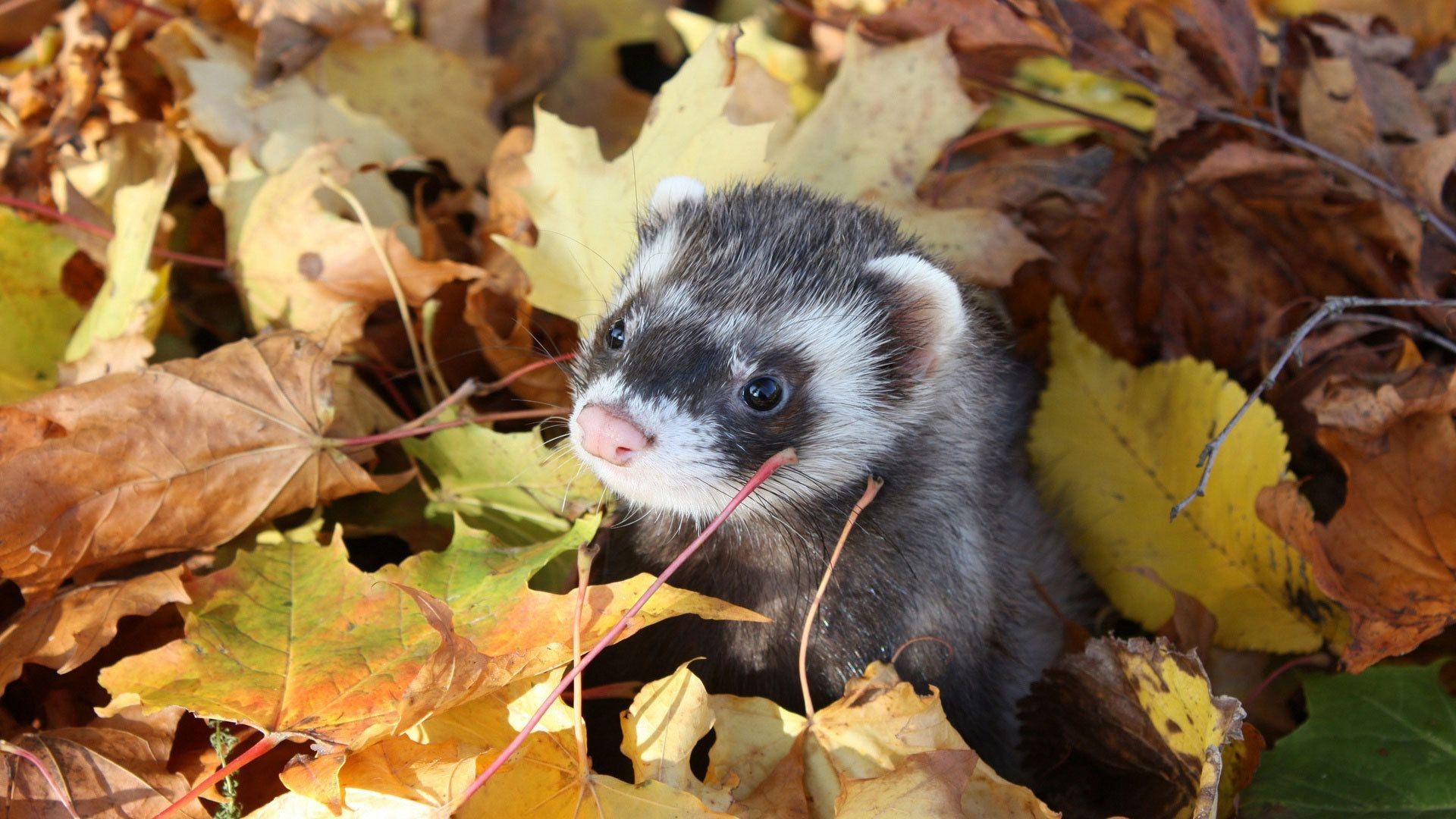 leaves the muzzle a ferret, ferrets fall