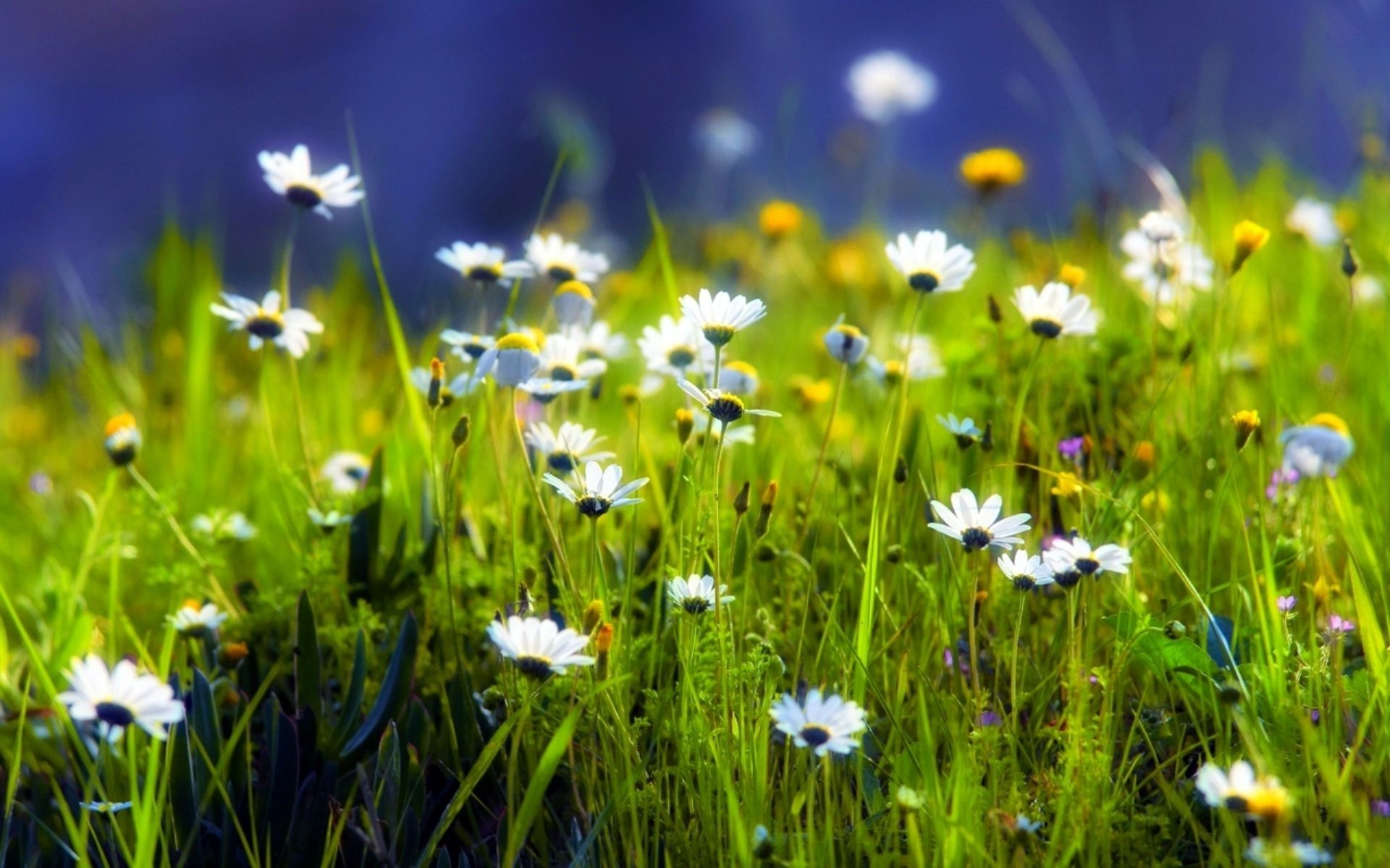 the greenery of green plants the chamomile meadow Grass