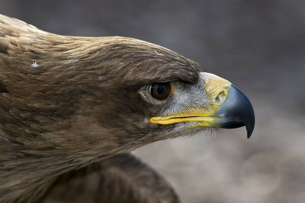 eagle feathers bird head beak eagle
