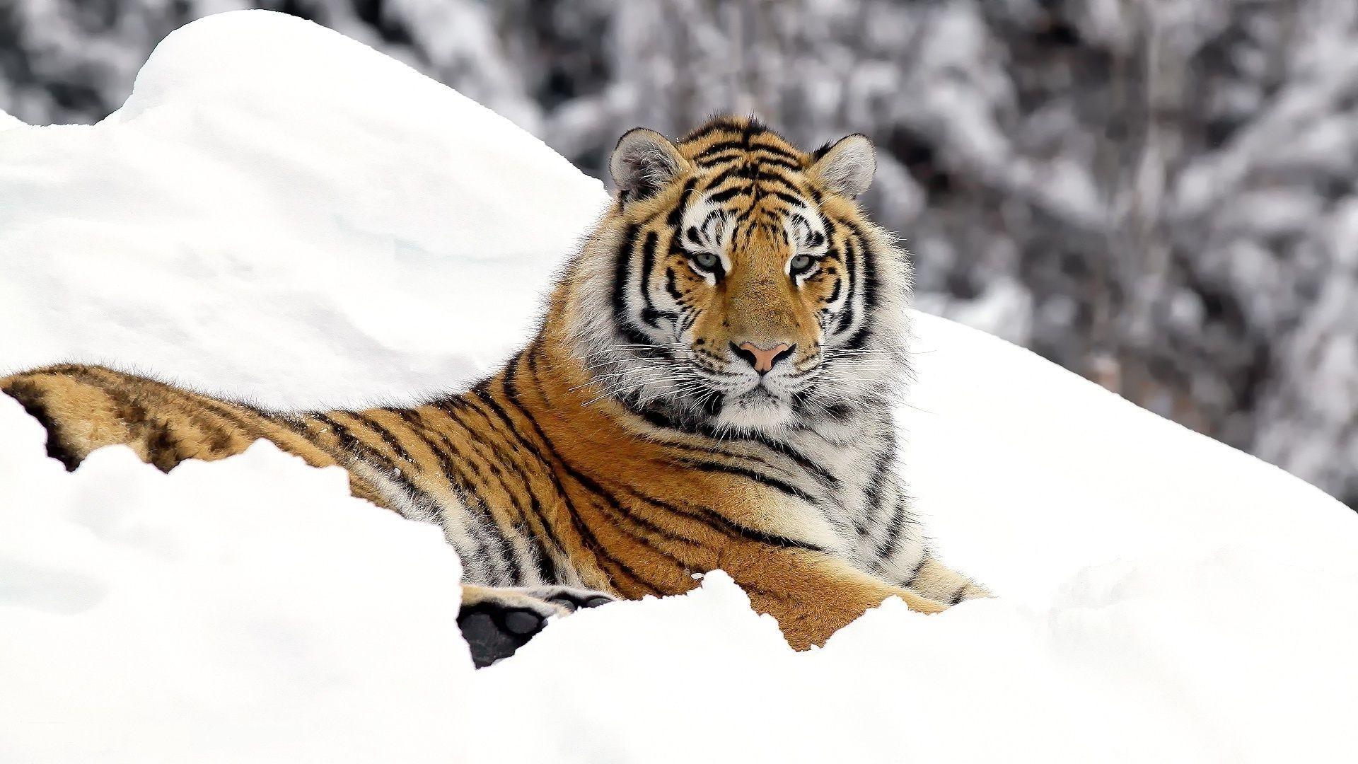 белый тигр на снегу  № 988831 загрузить