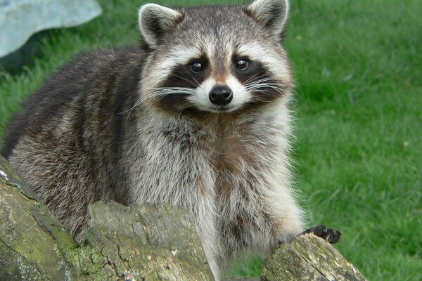 looks beast Raccoon mustache nose