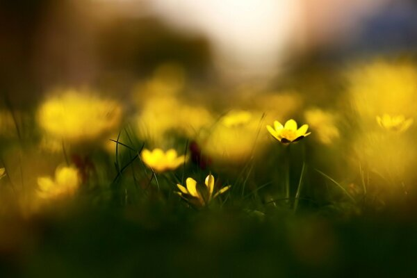 spring grass flowers nature Celandine blur