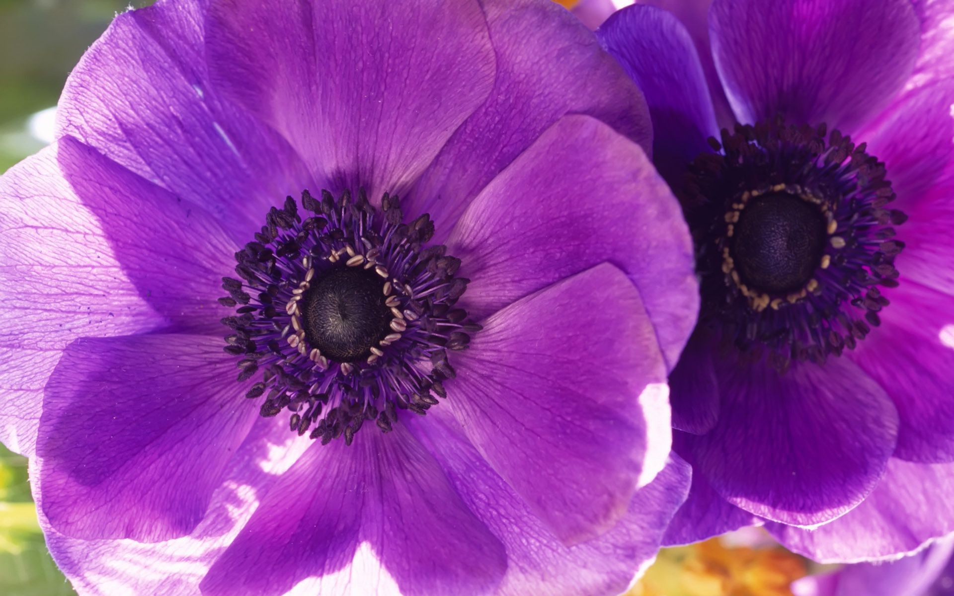 Poppies flower macro purple flowers two petals